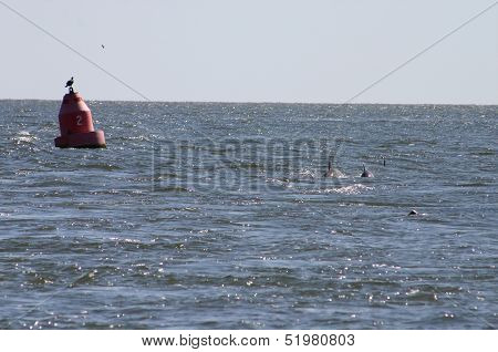 Red Buoy #2 with dolphins surfacing