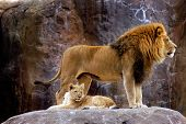 stock photo of zoo animals  - an adult male lion protects his young lion cub son - JPG