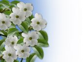 stock photo of dogwood  - Image and illustration Composition for Card - JPG