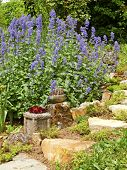 stock photo of nepeta  - Flowering Catnip plant in summer garden - JPG