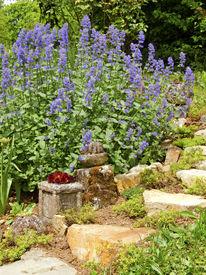 pic of catnip  - Flowering Catnip plant in summer garden - JPG