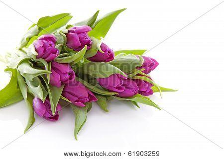 Pink Dutch Tulips In Closeup