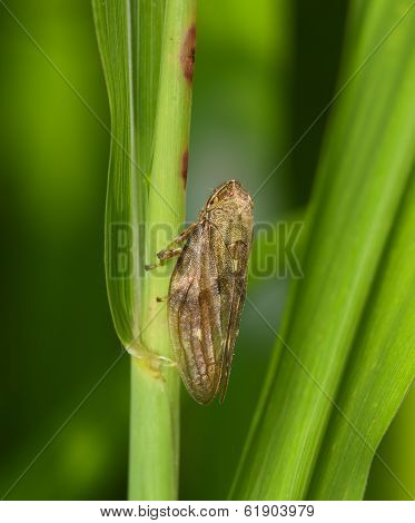 Young Cicada On A Green Stalk