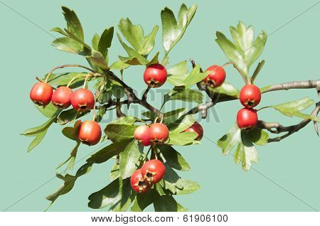 Isolated Hawthorn Berries