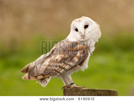 Barn Owl On Tree Stump