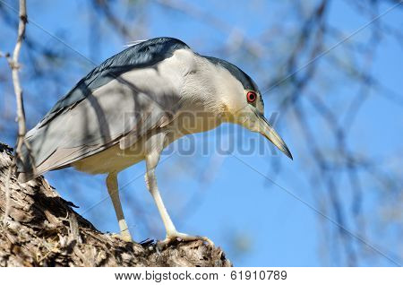 Black-crowned Night Heron, Male