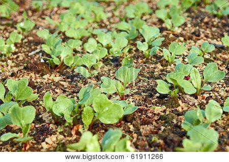 Young Green Radish Plants