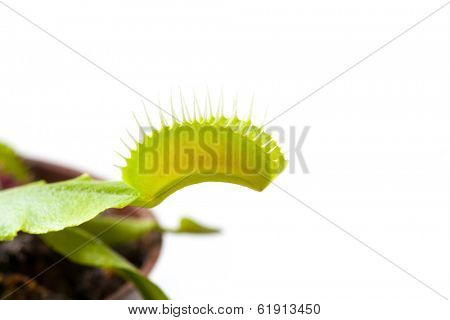 Venus flytrap plant, isolated on white background