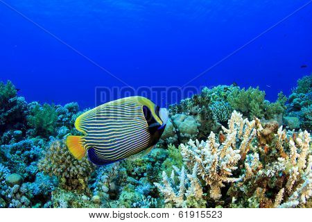 Coral Reef Underwater with Emperor Angelfish