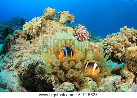Red Sea Anemonefish in Bubble Anemone