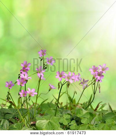 oxalis  flowers background