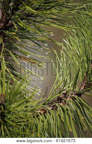 rami di pino e pioggia