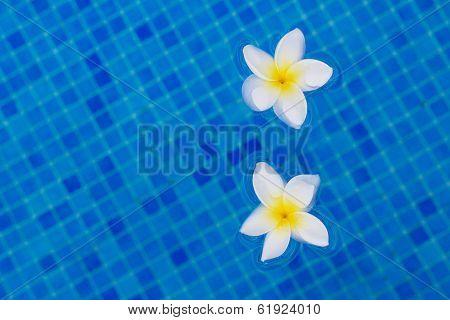 two frangipani flowers on blue