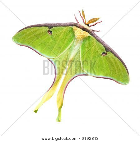 Luna Moth With Clipping Path