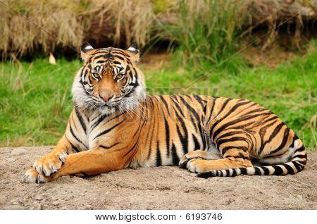 Tiger Portrait Horizontal