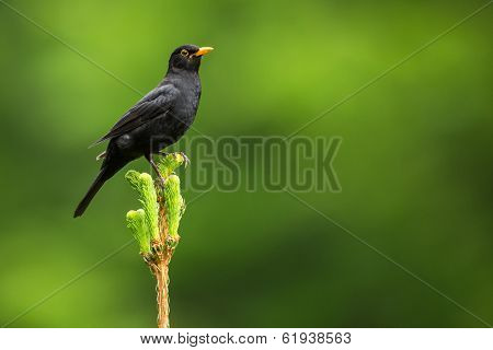 Blackbird - Male Common Blackbird (Turdus merula)