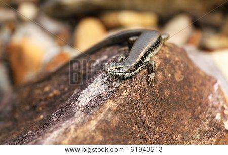 Small Lizard Macro