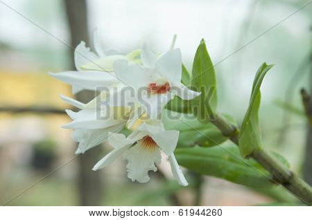 Dendrobium orchid white in the nature.Dendrobium draconis.