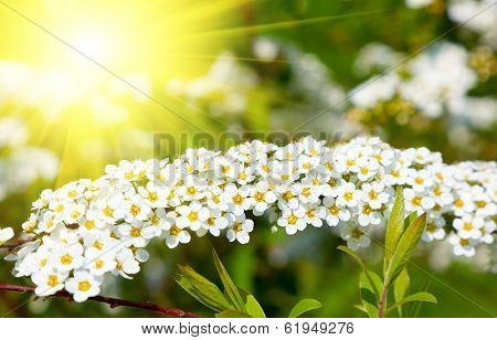 White Spiraea (meadowsweet)  Flowers Early Spring - Shrub In The Family Rosaceae.