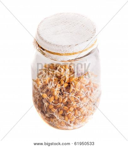 Top View Of Sprouting Weat Seeds Growing In A Jar