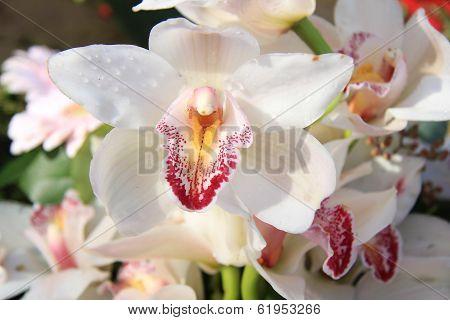 White Cymbidium Orchids