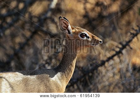 Dik-dik Wild Goat