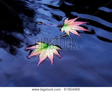 Two Maple Leaves On The Water