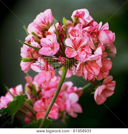 Pink Flowering Pelargonium