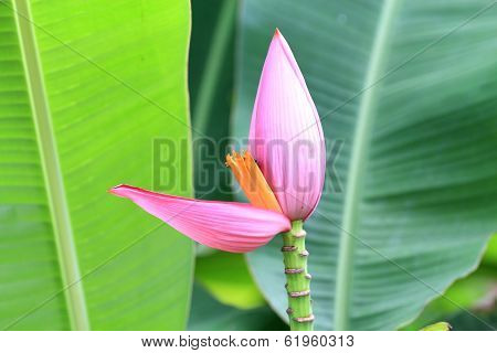 Pink Banana Blossom