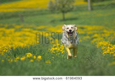 Golden Retriever Is Running Toward The Camera