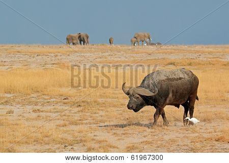 African buffalo (Syncerus caffer) with elephants on the horizon, Amboseli National Park, Kenya