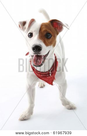 Jack Russell Terrier happy dog