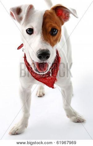 Jack Russell Terrier dog joyful