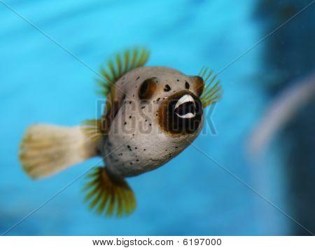 golden puffy fish