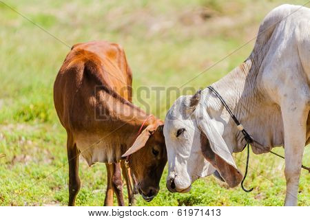 Brown Cows And Calf.