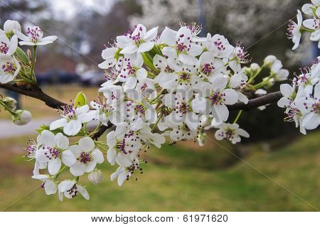 Bradford Pear Blossom Cluster