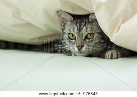 Grey Tabby Cat Hiding Under Quilt