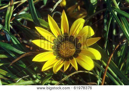 yellow gazania flower