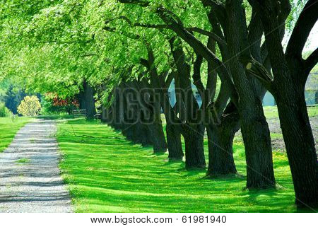 Lane of bright green summer trees moving with breeze