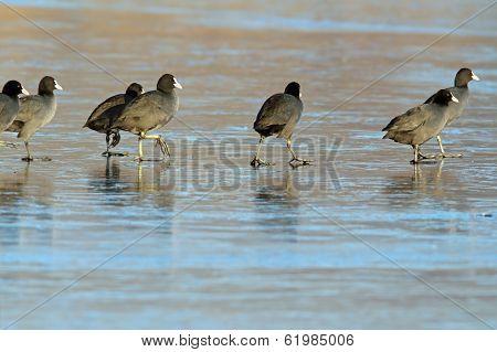 Birds Walking On Frozen Lake