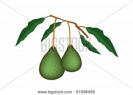 Two Fresh Green Avocados On A Branch