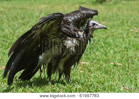 An Extremely Wet Hooded Vulture Drying In The Sun
