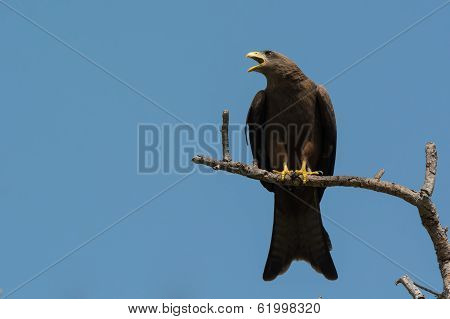 Black Kite (milvus Migrans) Crying Plaintively