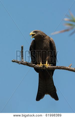 Black Kite (milvus Migrans) Crying Plaintively
