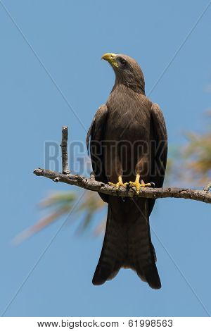 Black Kite (milvus Migrans) Looking Up
