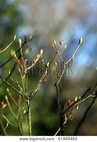 Budding Leaves On The Tree Boughs In Spring