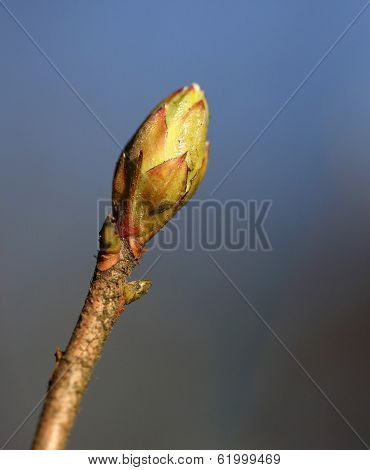 Budding Leaves On The Tree Bough In The Spring