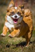 foto of mongrel dog  - A still very young small dog runs happily in the sunshine through a meadow - JPG
