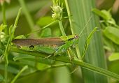 foto of locust  - Locust on a green leaf of a grass - JPG