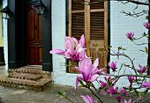 stock photo of japanese magnolia  - Blooming Japanese magnolias planted
